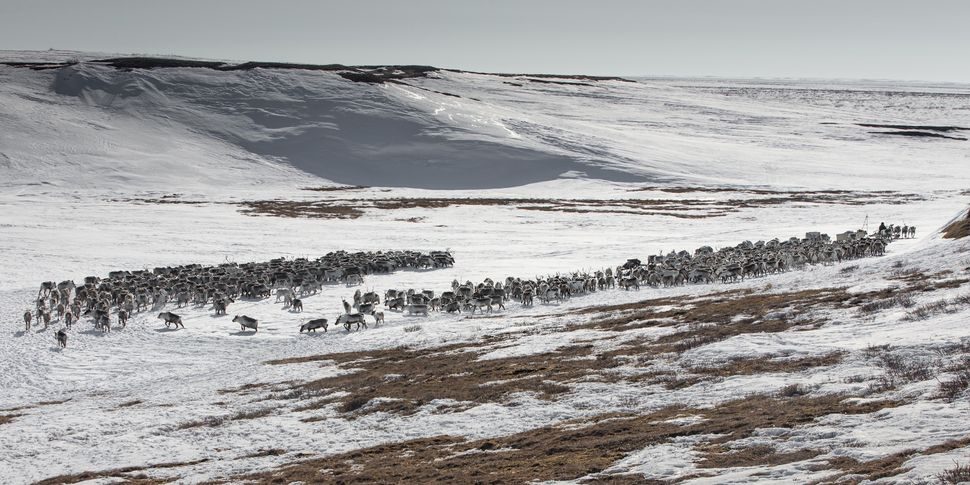 A reindeer flock is seen at a nomad camp, 150 km from the town of Salekhard, Yamalo-Nenets Autonomous Okrug,in Russia o