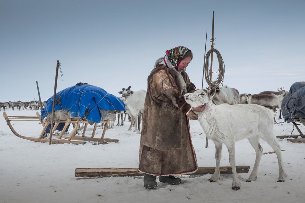 A reindeer herder fondles a reindeer at a nomad camp, 150 km from the town of Salekhard, Yamalo-Nenets Autonomous Okrug, in R
