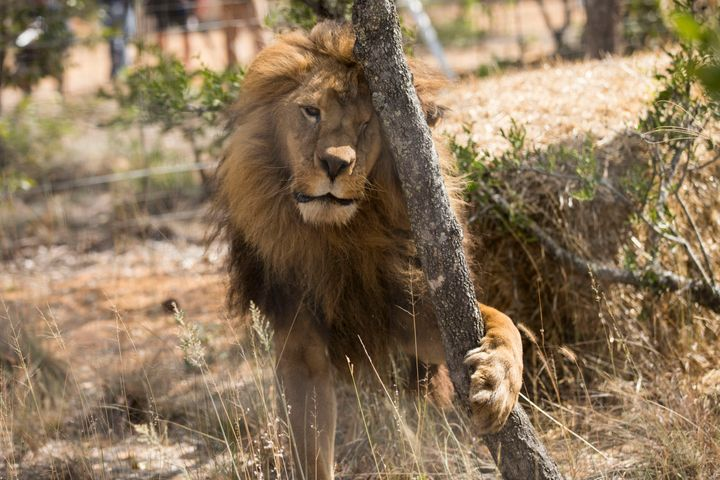 One of the 33 lions enjoys his new enclosure at the Emoya 'Big Cat Sanctuary' on May 1, 2016 in Vaalwater, South Africa.