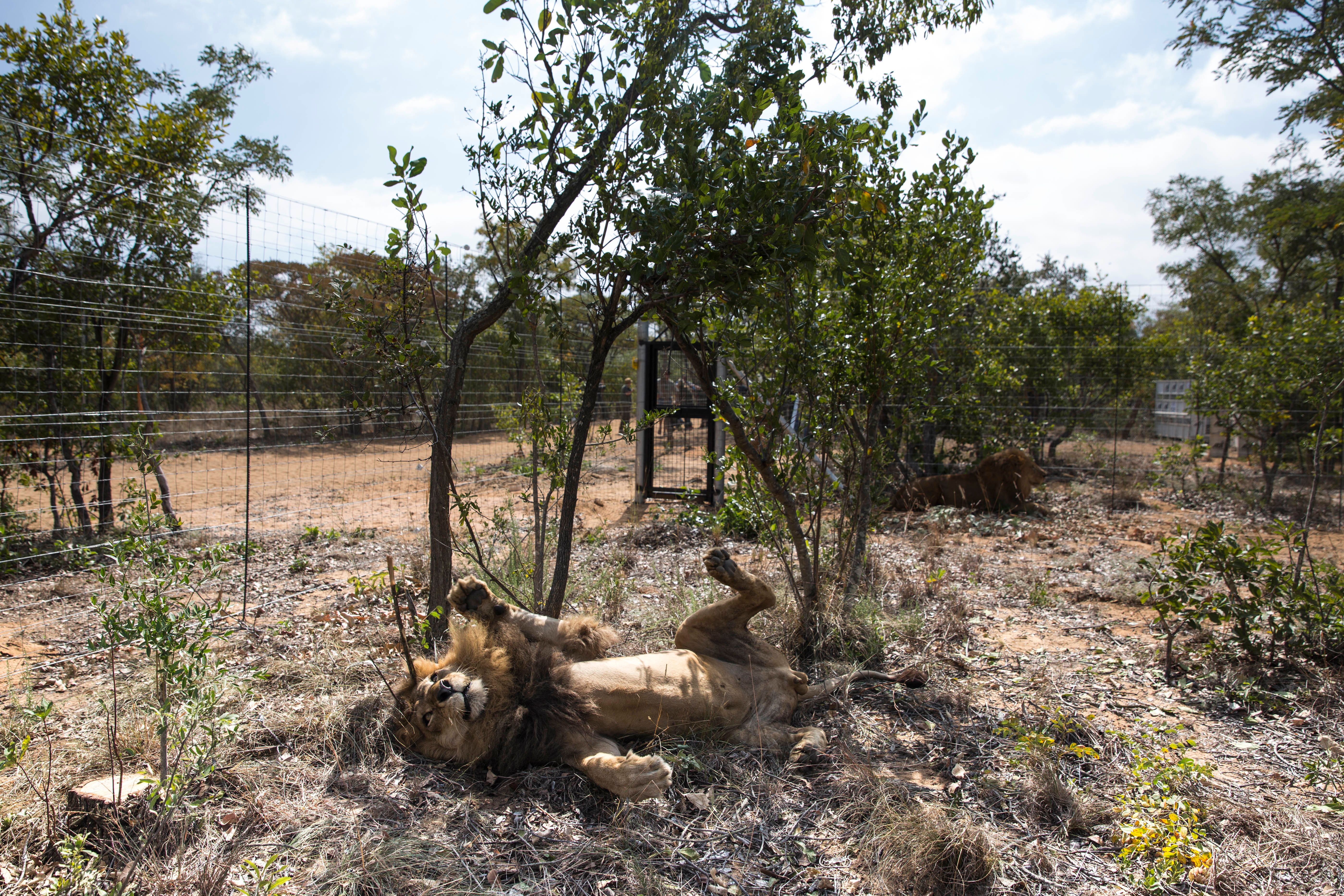 VAALWATER, SOUTH AFRICA - MAY 01:  One of the 33 lions enjoys his new enclosure at the Emoya 'Big Cat Sanctuary' on May 1, 2016 in Vaalwater, South Africa. A total of 33 former circus Lions, 22 males and 11 females from Peru and Columbia were airlifted to South Africa yesterday, before being released today to live out their lives on the private reserve in the Limpopo Province. 24 of the animals were rescued in raids on circuses operating in Peru, with the rest voluntarily surrendered by a circus in Colombia after Colombias Congress passed a bill prohibiting circuses from using wild animals. The trip has been coordinated by the animal rights group 'Animal Defenders International'. The animals have been released into small open areas with natural vegetation, something that many of the animals have never experienced before.  (Photo by Dan Kitwood/Getty Images)
