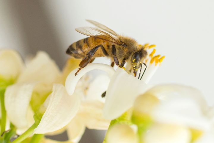 A bee gathers honey from an orange blossom,