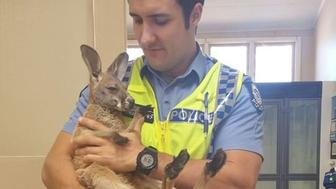 Cue Police Constable Scott Mason is seen holding his adopted kangaroo named Cuejoe.