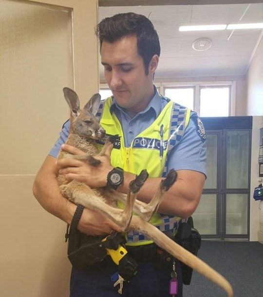 Police Constable Scott Mason is seen holding his adopted kangaroo,Cuejoe.