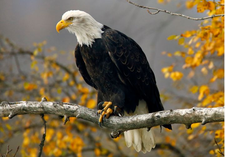 A bald eagle sits in a tree in the Chilkat Bald Eagle Preserve near Haines, Alaska October 8, 2014.