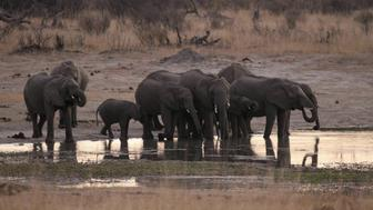 A herd of elephants gather at a water hole in Zimbabwe's Hwange National Park, August 1, 2015. After the killing of Zimbabwe's best known lion, a second animal has been poached by a foreigner, a source said on Saturday as authorities banned big game hunting outside the park from which Cecil was lured to his death. Picture taken August 1, 2015. REUTERS/Philimon Bulawayo