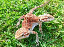 Check Out The Most Beautiful 2-Headed Bearded Dragon We've Seen Today