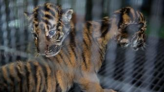 MAE RIM, THAILAND - JULY 29:  Newborn tiger cubs are kept in an enclosure at Tiger Kingdom on July 29, 2015 in Mae Rim, Thailand. Face painting and celebrations marked International Tiger Day at Tiger Kingdom where tourists can pay to pet tigers and pose for photos.  (Photo by Taylor Weidman/Getty Images)