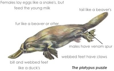 Like a Platypus, Ultimate can't decide if it's a downs-oriented sport like football, or a possession based sport like basketb