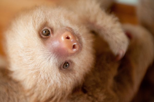 These Orphaned Baby Sloths Will Give You All The Warm