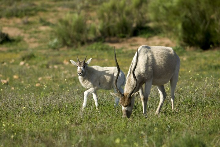 An addax mother and calf at a Sous Massa National Park in Morocco.