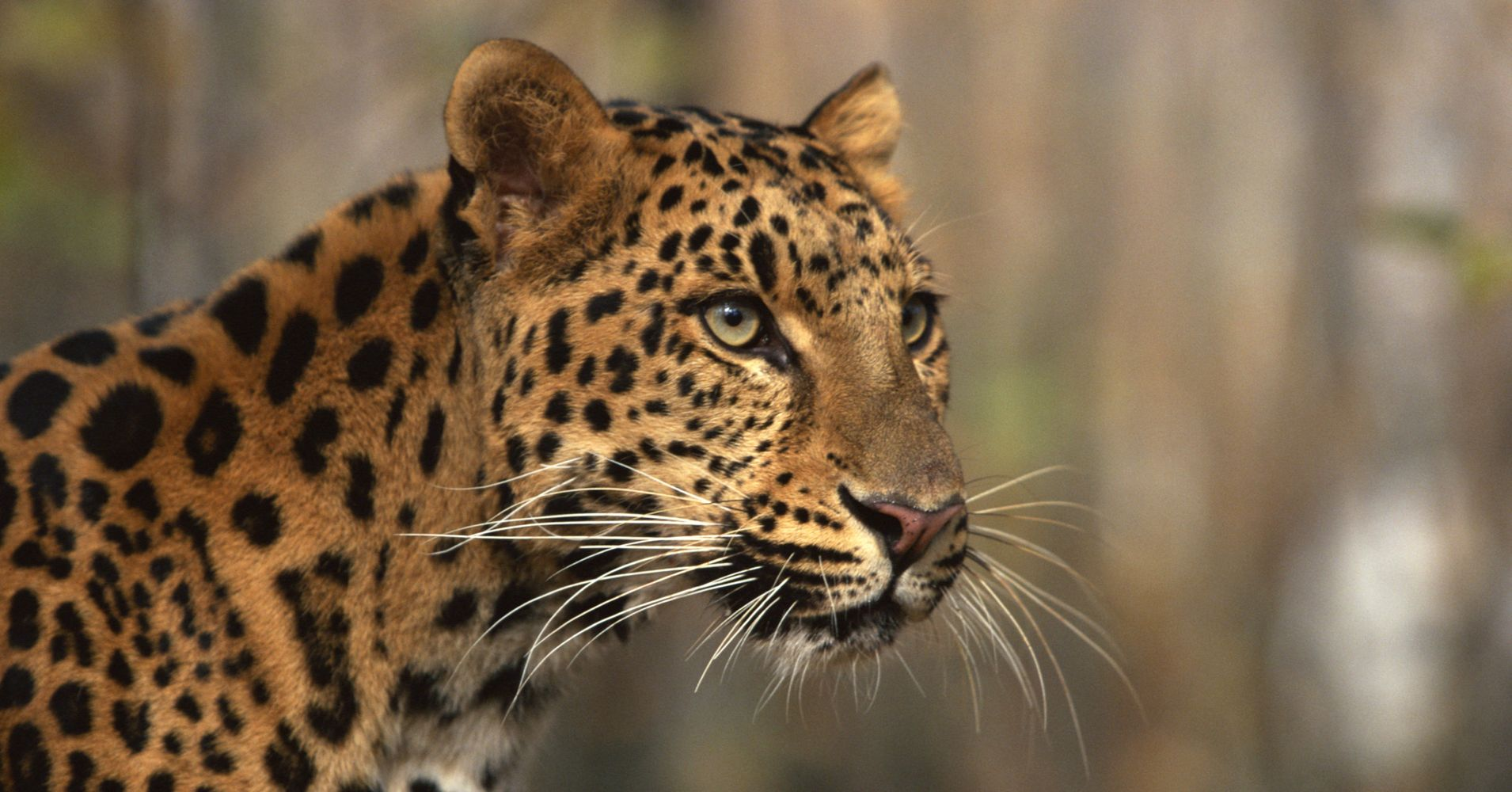 dating when you are shy memes: why is the amur leopard endangered yahoo dating