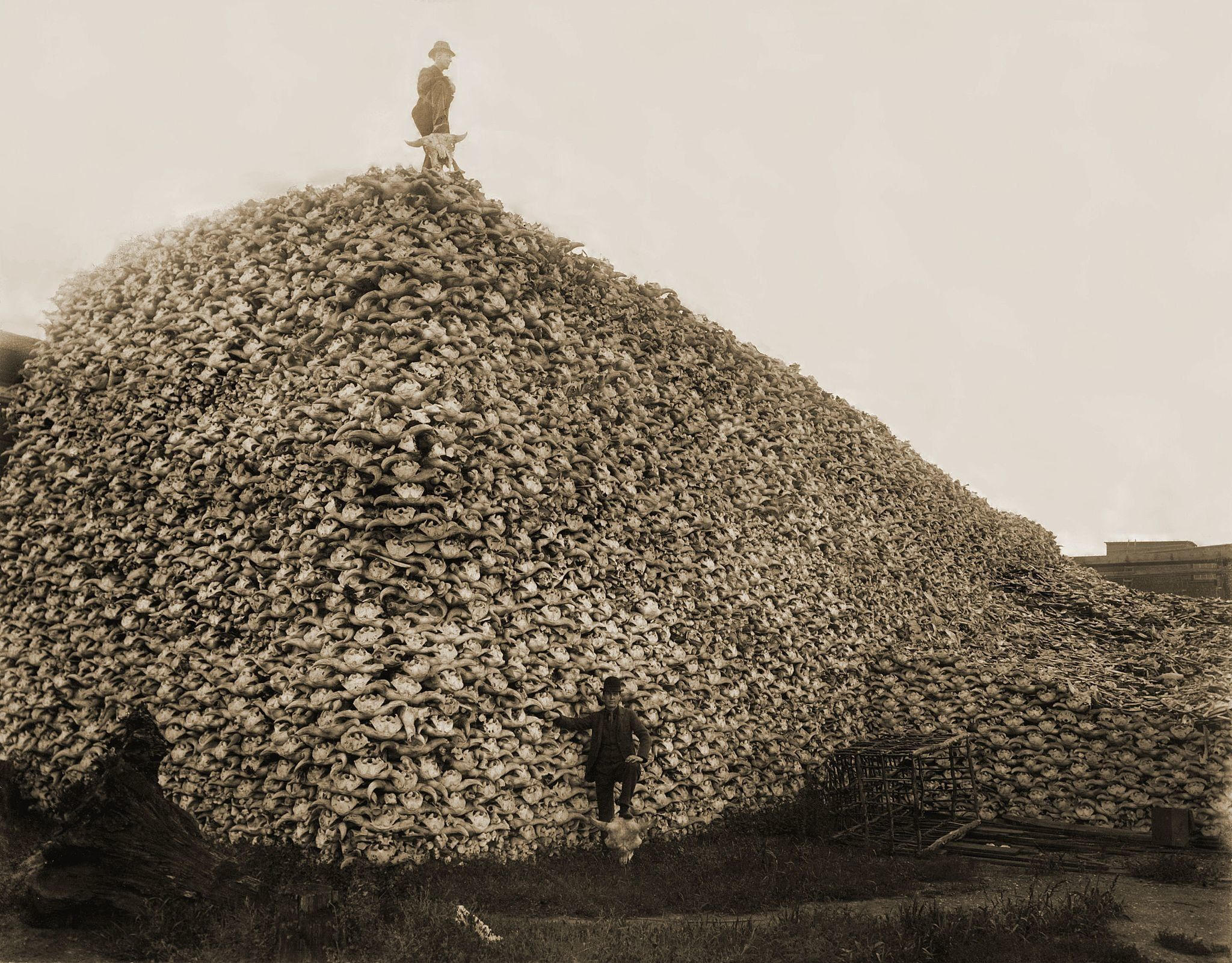 """Amountain of <a href=""""https://en.wikipedia.org/wiki/American_bison"""">American bison</a> skulls waiting to be ground for"""