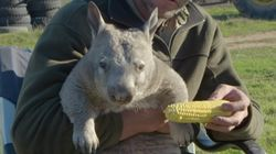Pete The Farting Corn-Eating Wombat Is Your New Spirit