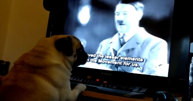 Buddha the pug was filmed in front of a computer screening footage of Adolf