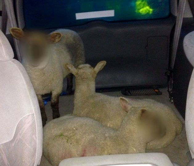 Police blurred the faces of three stolen lambs found being transported in a people
