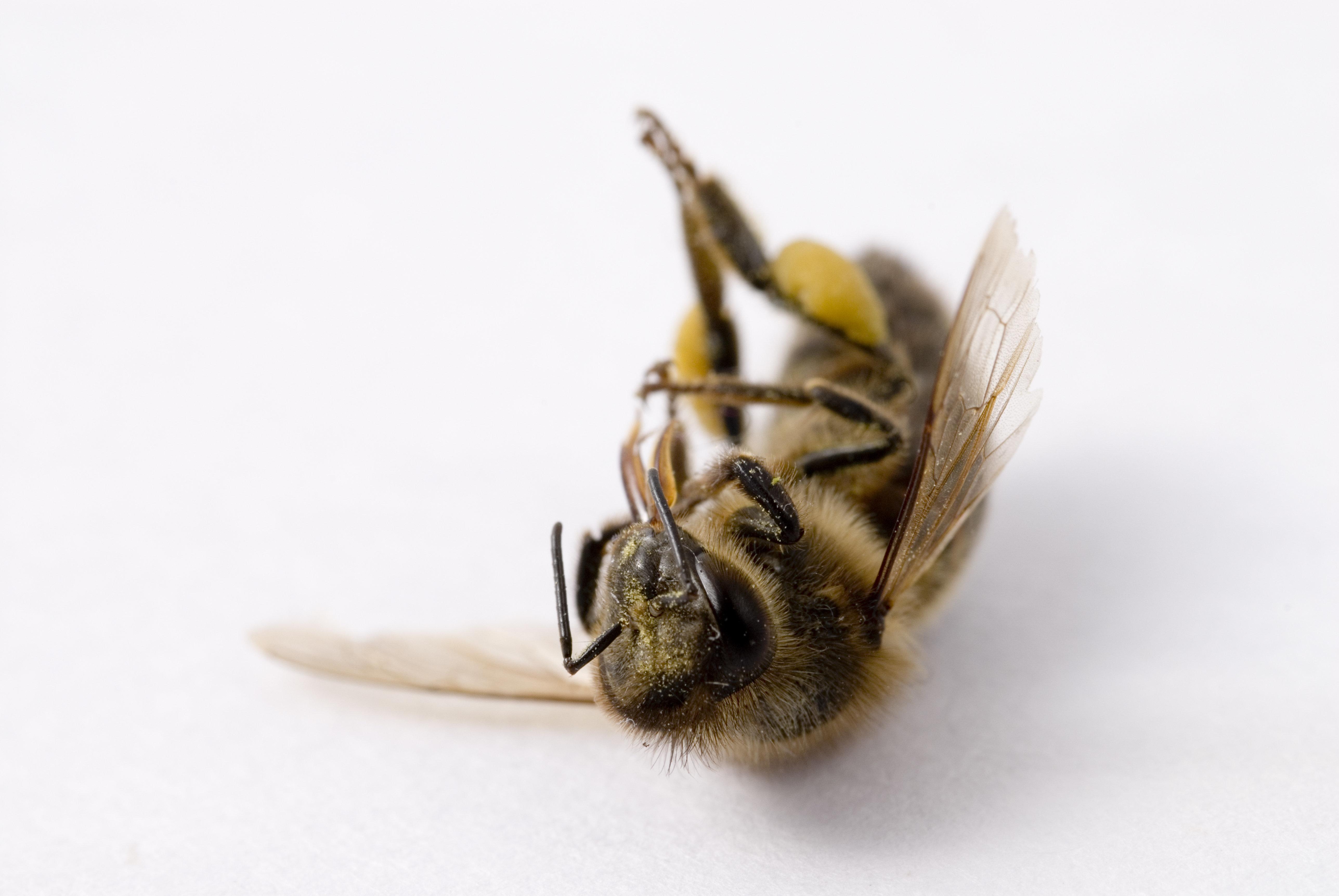 Dead Honeybee (Apis mellifera).