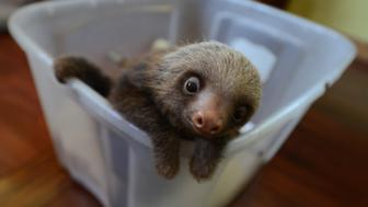TO GO WITH AFP STORY by Isabel Sanchez - FILES -  A baby Hoffmann's two-toed sloth (Choloepus hoffmanni), is seen at the Sloth Sanctuary in Penshurt, some 220 km east of San Jose, Costa Rica, on August 31, 2012.  AFP PHOTO/Rodrigo ARANGUA        (Photo credit should read RODRIGO ARANGUA/AFP/GettyImages)