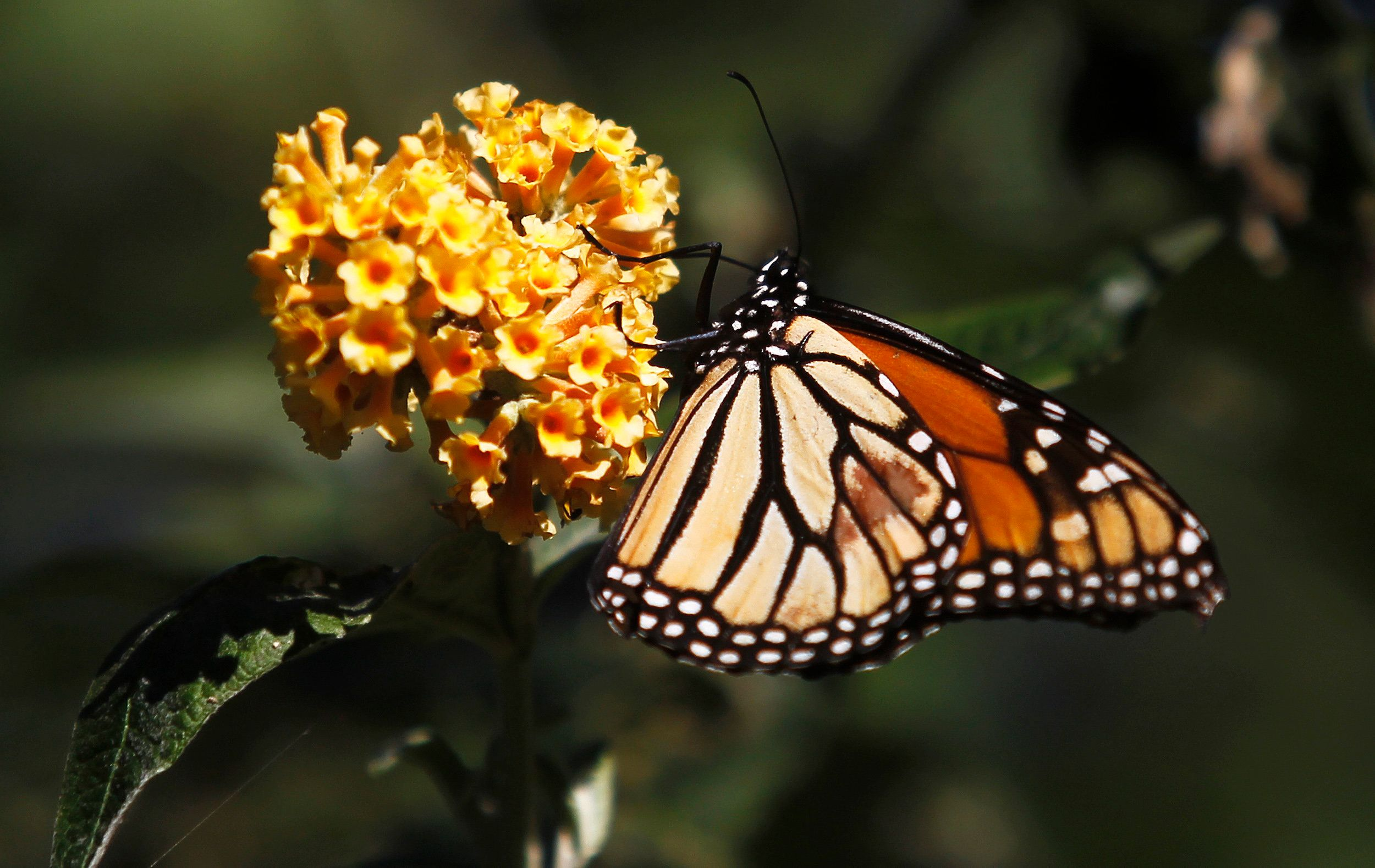 A monarch butterfly clings to a plant at the Monarch Grove Sanctuary in Pacific Grove, California, December 30, 2014. Monarch butterflies may warrant U.S. Endangered Species Act protection because of farm-related habitat loss blamed for sharp declines in cross-country migrations of the orange-and-black insects, the U.S. Fish and Wildlife Service said. REUTERS/Michael Fiala (UNITED STATES - Tags: ANIMALS ENVIRONMENT POLITICS)