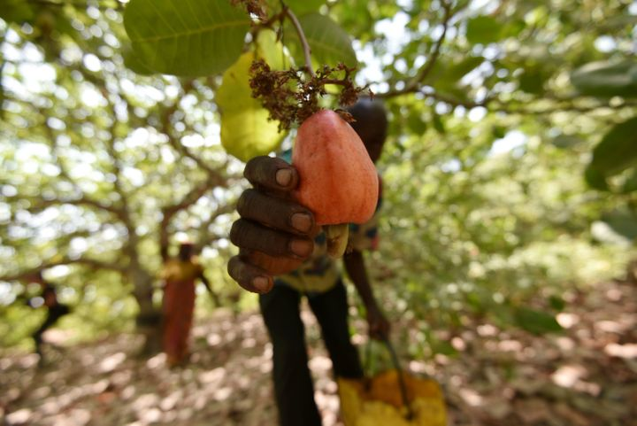A farmer harvests cashew-apple fruits in a plantation in Bouake, Ivory Coast.
