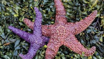 Ochre Sea Stars (Pisaster ochraceus), Pacific Coast.