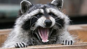 Masha, a female raccoon, yawns in her wooden refuge inside an open-air cage where she hibernates at the Royev Ruchey zoo in Krasnoyarsk, November 20, 2013. Many animals in the zoo are having difficulties hibernating due to unusually warm temperatures, employees of the zoo said.  REUTERS/Ilya Naymushin (RUSSIA - Tags: ANIMALS ENVIRONMENT SOCIETY)