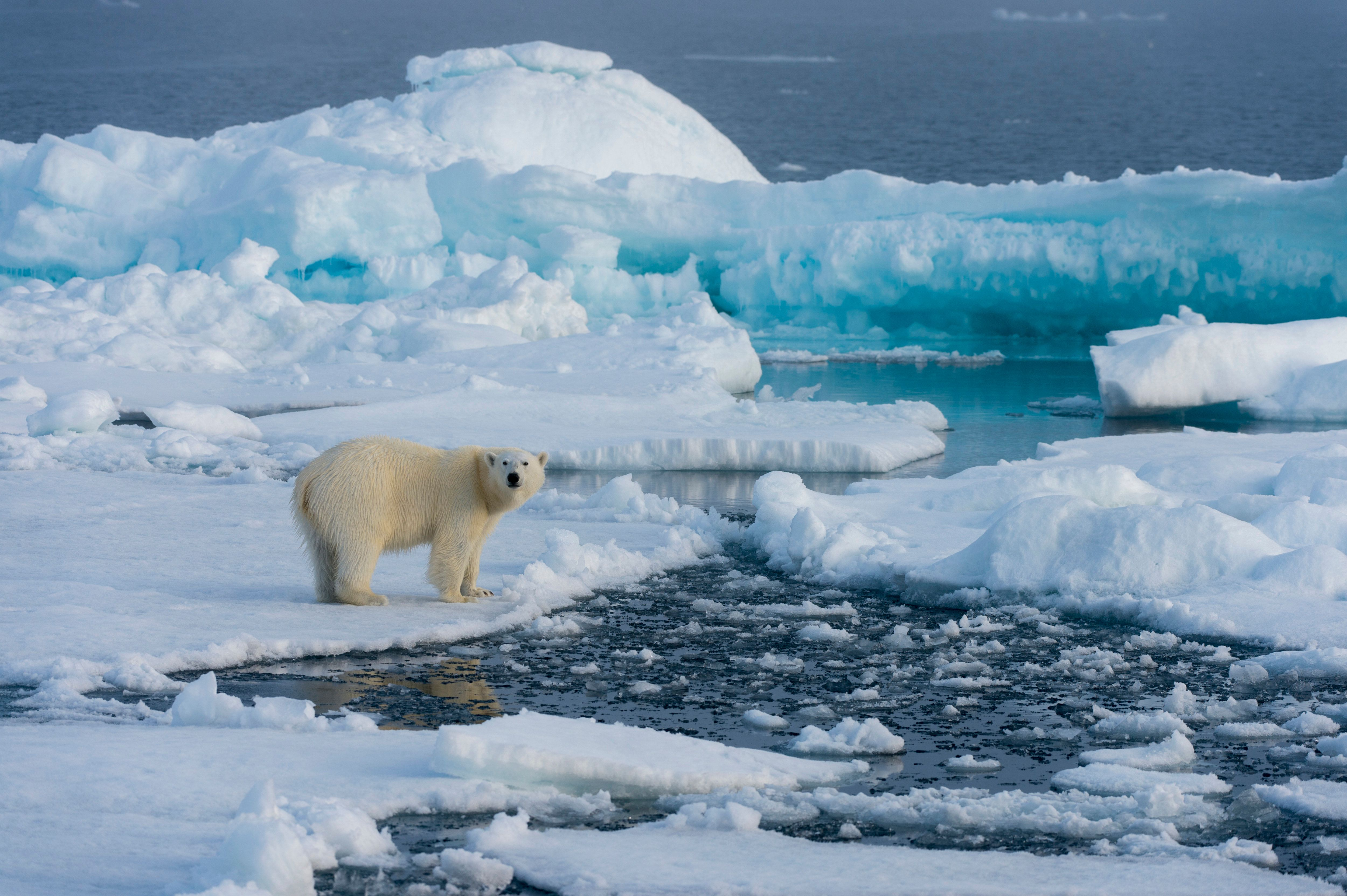 A polar bear on the pack ice north of Svalbard,