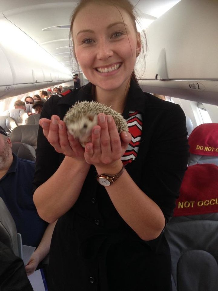 Hedgehogs hitched a ride to get away from the Fort McMurray fire with their owners.