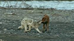 WATCH: Wolf Instantly Regrets Attacking This Badass Baby