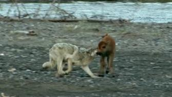 Wolf vs Baby Bison