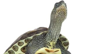 European pond turtle (1 year old), Emys orbicularis, in front of a white background.