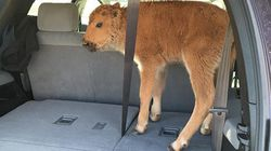Tourists Allegedly Snatch Baby Bison From A National Park Because It Looked