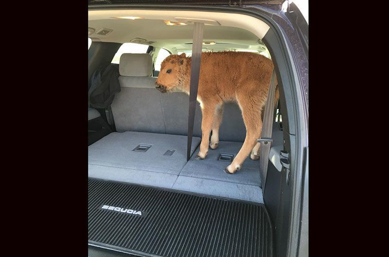 Baby bison in a car.