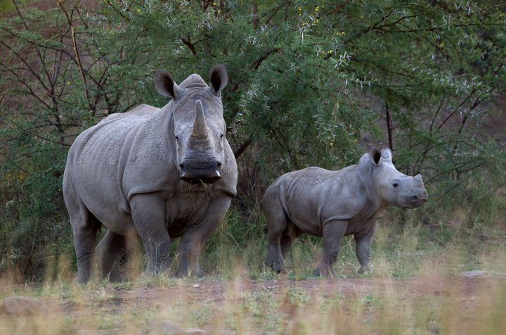 A White Rhino and her calf walk in the dusk light in Pilanesberg National Park in South Africa's North West Province.