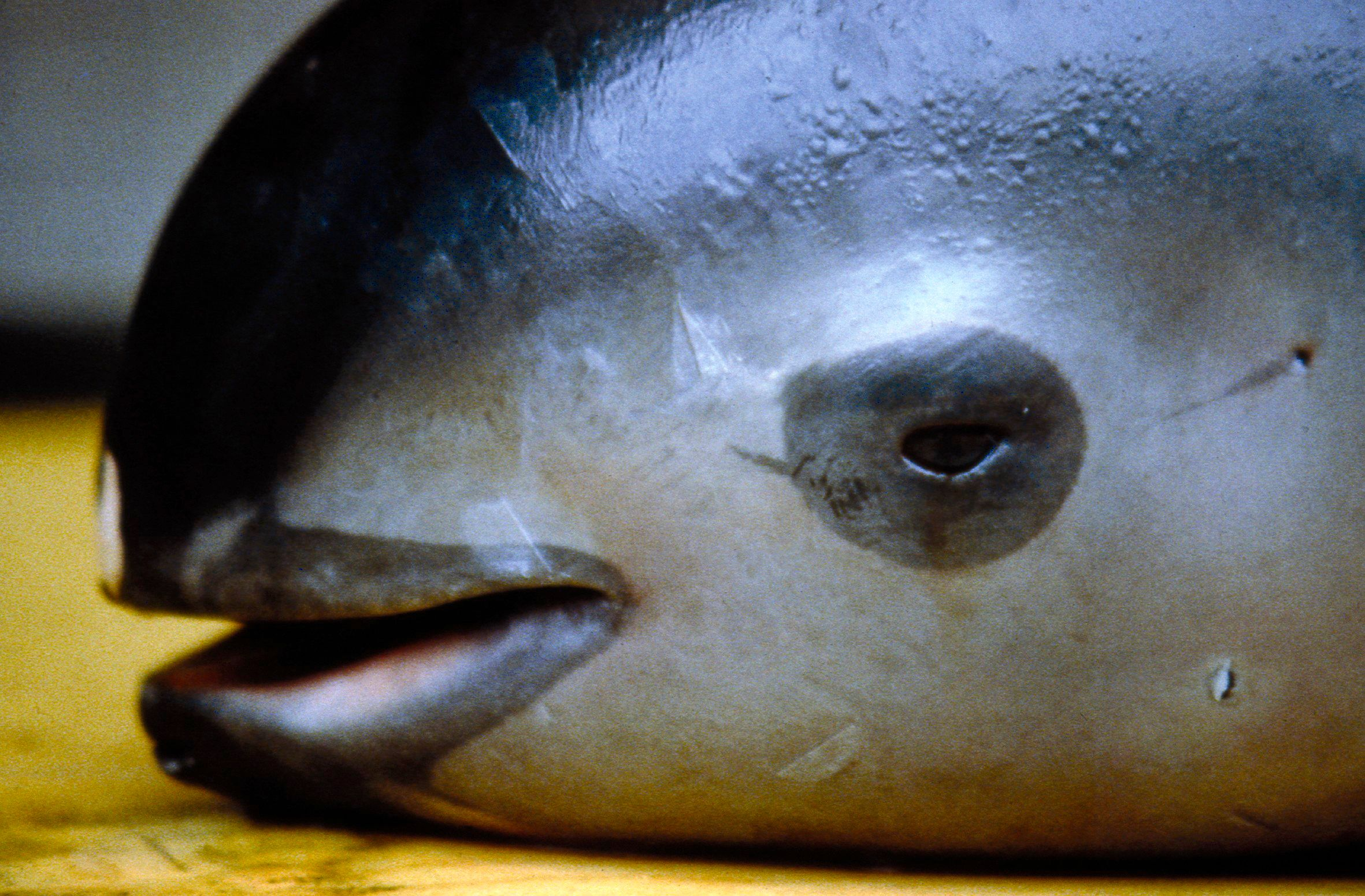 The vaquita, a tiny stubby-nosed porpoise, is found only in Mexico's Gulf of