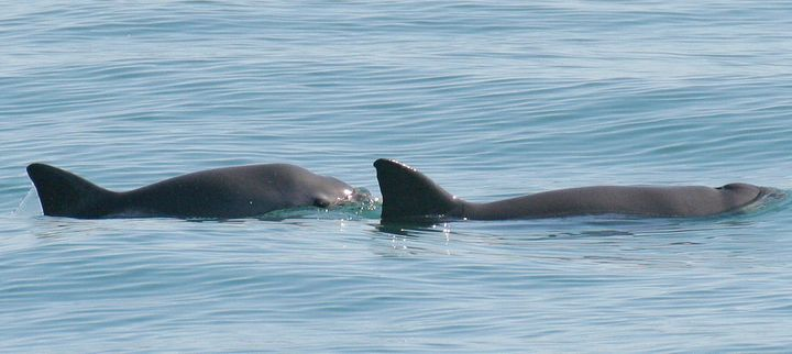Vaquitas swim in the Gulf of California.