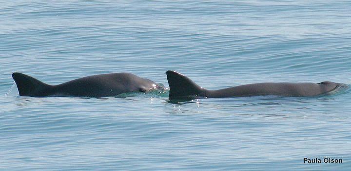 Vaquitas swim in the Gulf of California.