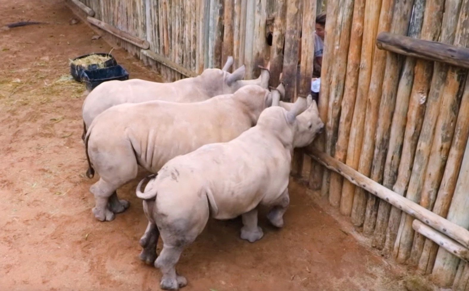 Baby rhinos cry for milk.