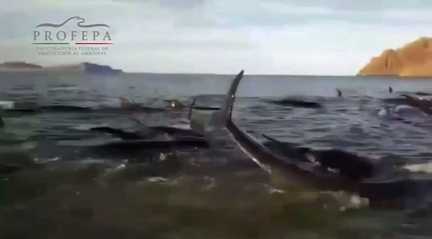 A total of 24 pilot whales have died after entering shallow waters in