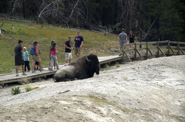Tourists warily walk past a resting bison in Yellowstone National