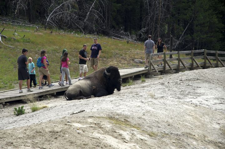 Tourists warily walk past a resting bison in Yellowstone National Park.