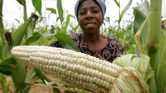 Zimbabwean Agnes Brovera holds an open ear of ripe maize, which is the country's staple food, on the outskirts of the capital Harare February 21,2006. Analysts doubt that this season's maize crop will be sufficient, despite a good rain season, for the country's population that has survived on food aid for the last five years. Picture taken February 21, 2006. REUTERS/Howard Burditt
