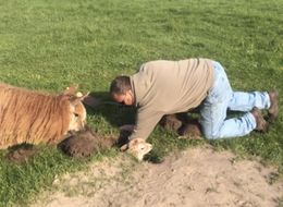 Baby Alpaca Got Stuck In A Hole, Was Super Chill About It