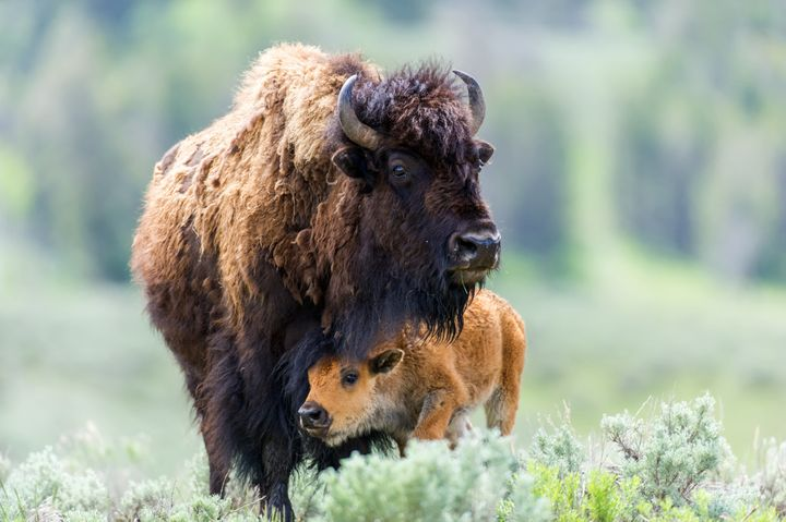 A mother bison with her calf at Yellowstone National Park.