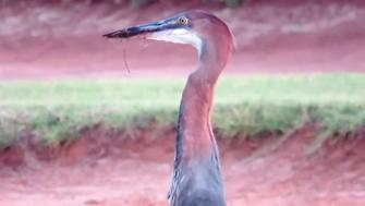A goliath heron at the Pecanwood Estate in South Africa.