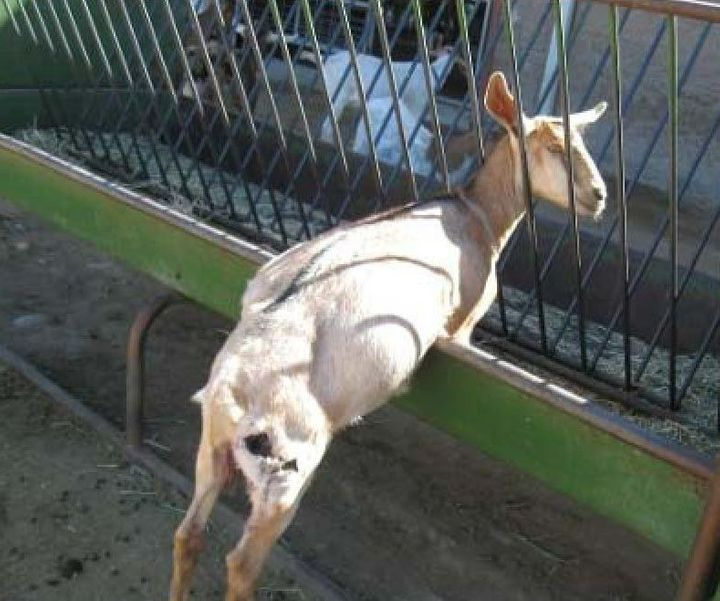 A goat with a wound on its hind leg, as photographed by a USDA inspector at Santa Cruz Biotechnology's California facility.