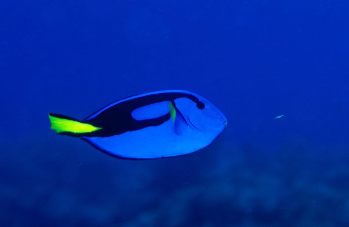 "Blue tang can be found in the <a href=""https://www.svsu.edu/~tkschult/moia/blue-tang.html"" target=""_blank"">warmer areas of th"