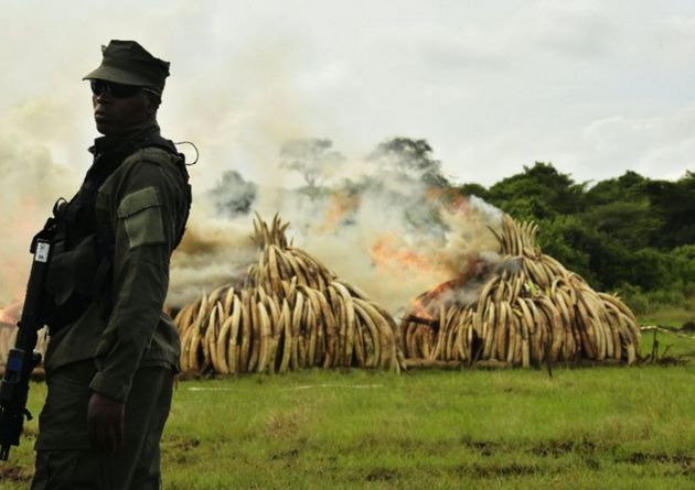 A ranger stands in front of burning ivory stacks at the Nairobi National Park in