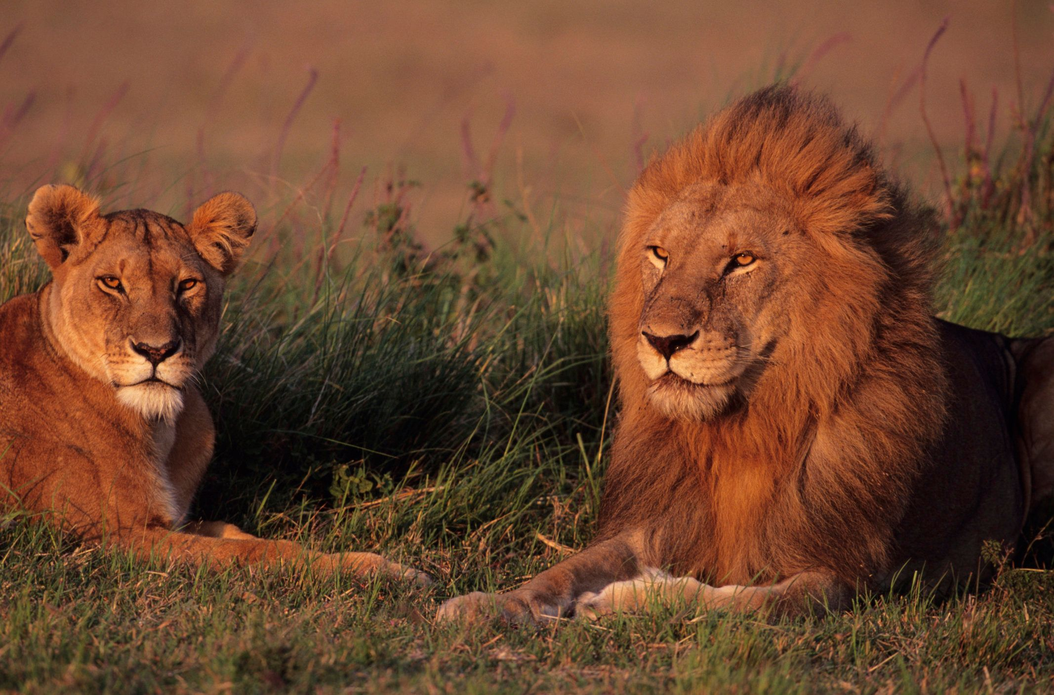 Zookeepers Kill 2 Lions To Save 'Suicidal' Man Who Entered