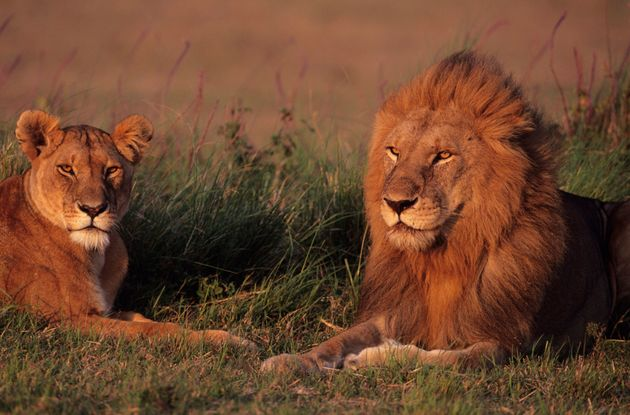 The two lions, not pictured, were shot dead after a man entered their enclosure at the Metropolitan Zoo...