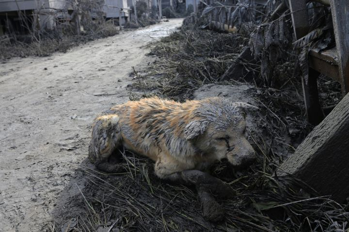 A dog is seen covered with ash following the deadly eruption which killed at least seven people.